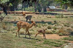 Striped doe deer and fawn. In Johannesburg zoo Stock Image