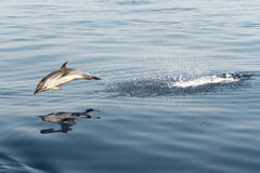 Striped dolphin playing in the air. Striped dolphin in the air Royalty Free Stock Photos