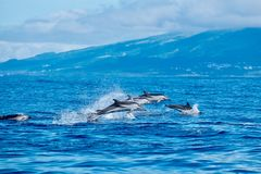 Striped dolphins Royalty Free Stock Photo
