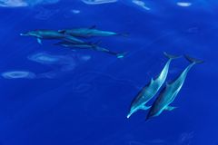 Striped Dolphins of the Carribian Island of Dominica. Several striped dolphins (Stenella coeruleoalba) swimming under-water in the coastal waters  off Dominica Royalty Free Stock Photo
