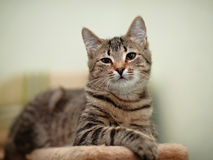 Striped domestic cat. Royalty Free Stock Photos
