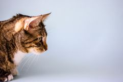 Striped domestic cat, side view stock photography