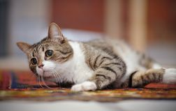 The striped cat with white paws, lies on a carpet. Royalty Free Stock Photos