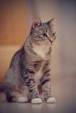 Striped domestic cat with white paws Royalty Free Stock Photos