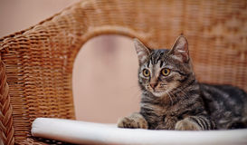 Striped domestic kitten lies on a wicker chair Stock Images