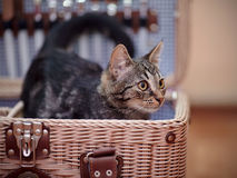 Striped domestic kitten in a wattled suitcase Stock Image