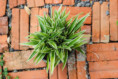 Striped Dracaena Plant. In pot stock photo
