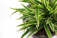 Striped Dracaena Plant. On white background Royalty Free Stock Photo
