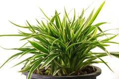 Striped Dracaena Plant. On white background Stock Photos