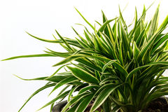 Striped Dracaena Plant Royalty Free Stock Photos