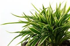Striped Dracaena Plant Royalty Free Stock Photos