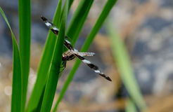 Striped dragon fly on grass Royalty Free Stock Photography