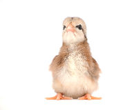 Striped Easter chick with an attitude Royalty Free Stock Photography