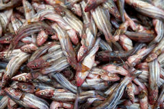 striped eel сома Стоковое Фото