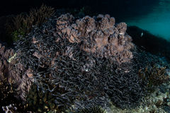 striped eel сома Стоковые Фото