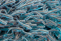 Striped eel catfish Stock Image