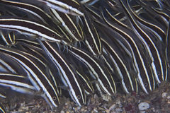 Striped Eel Catfish feeding on sea floor Royalty Free Stock Images