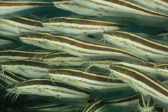 Striped Eel Catfish Royalty Free Stock Image