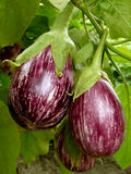 Striped eggplant Royalty Free Stock Images