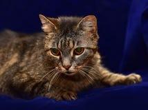 Striped elderly cat. On a blue background stock photo