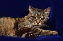 Striped elderly cat. On a blue background royalty free stock image