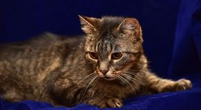 Striped elderly cat. On a blue background royalty free stock photo