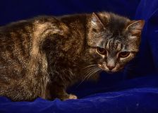 Striped elderly cat. On a blue background stock photography
