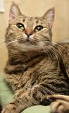 Striped european shorthair cat portrait. Close stock photo
