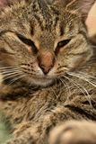 Striped european shorthair cat portrait. Close royalty free stock photo