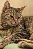 Striped european shorthair cat portrait. Close royalty free stock image
