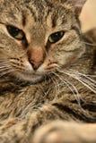 Striped european shorthair cat portrait. Close royalty free stock images