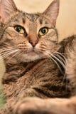 Striped european shorthair cat portrait. Close stock photos