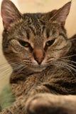 Striped european shorthair cat portrait. Close royalty free stock photography