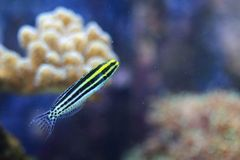 Striped fang blenny. Floatin in water royalty free stock photo