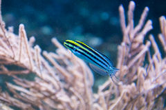 Free Striped Fangblenny - Meiacanthus Grammistes Stock Images - 42768864