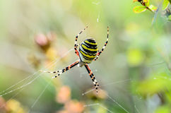Striped female spider wasp. Striped female wasp spider sitting at the center of its web Royalty Free Stock Photography