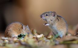 Striped field mice nice posing together in leaf garbage royalty free stock photos