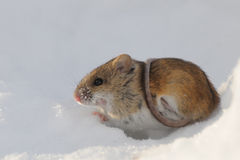 Striped Field Mouse above snow hole belted with the tail stock image