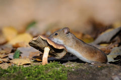 Striped Field Mouse climbs on mushroom Royalty Free Stock Photo