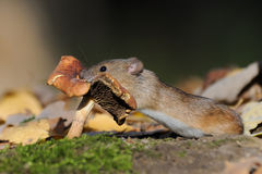 Striped Field Mouse eating mushroom Stock Photos