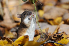 Striped Field Mouse eats Touch-me-not plant Royalty Free Stock Images