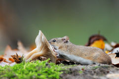 Striped Field Mouse and mushroom Royalty Free Stock Photography