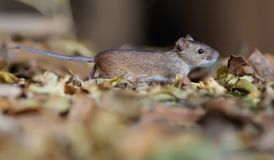 Striped field mouse runs through leaves on the earth royalty free stock photos
