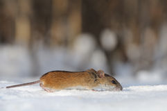 Striped Field Mouse running in the snow. Striped Field Mouse (Apodemus agrarius) in sunny winter day in snow Royalty Free Stock Photography