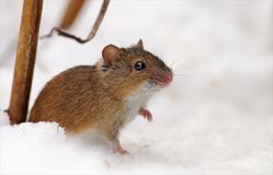 Striped field mouse sits snow royalty free stock image