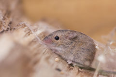 Striped field mouse Royalty Free Stock Photography