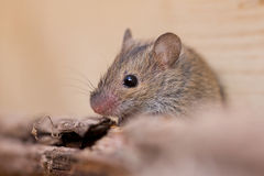 Striped field mouse Royalty Free Stock Images