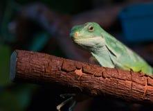 Striped Fijian iguana Stock Images