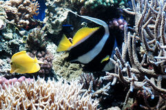 Striped fish. A Black and White Striped Fish in aquarium royalty free stock image