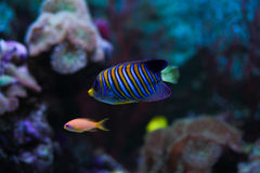 Striped fish Stock Image